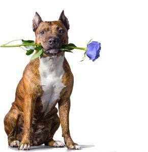 Pitt Bull Holding a Rose